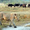 z12-05-lions