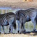 z12-09-zebra