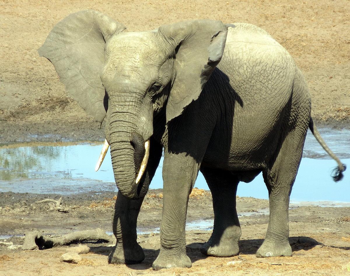 z12-18-elephant