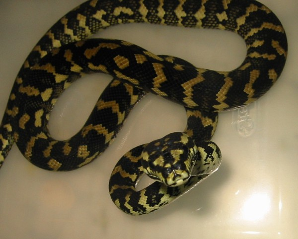 VPI Jungle Carpet Python | Vida Preciosa International, Inc.