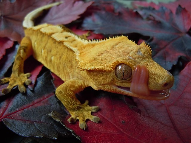 Fall in Love with a Crestie!