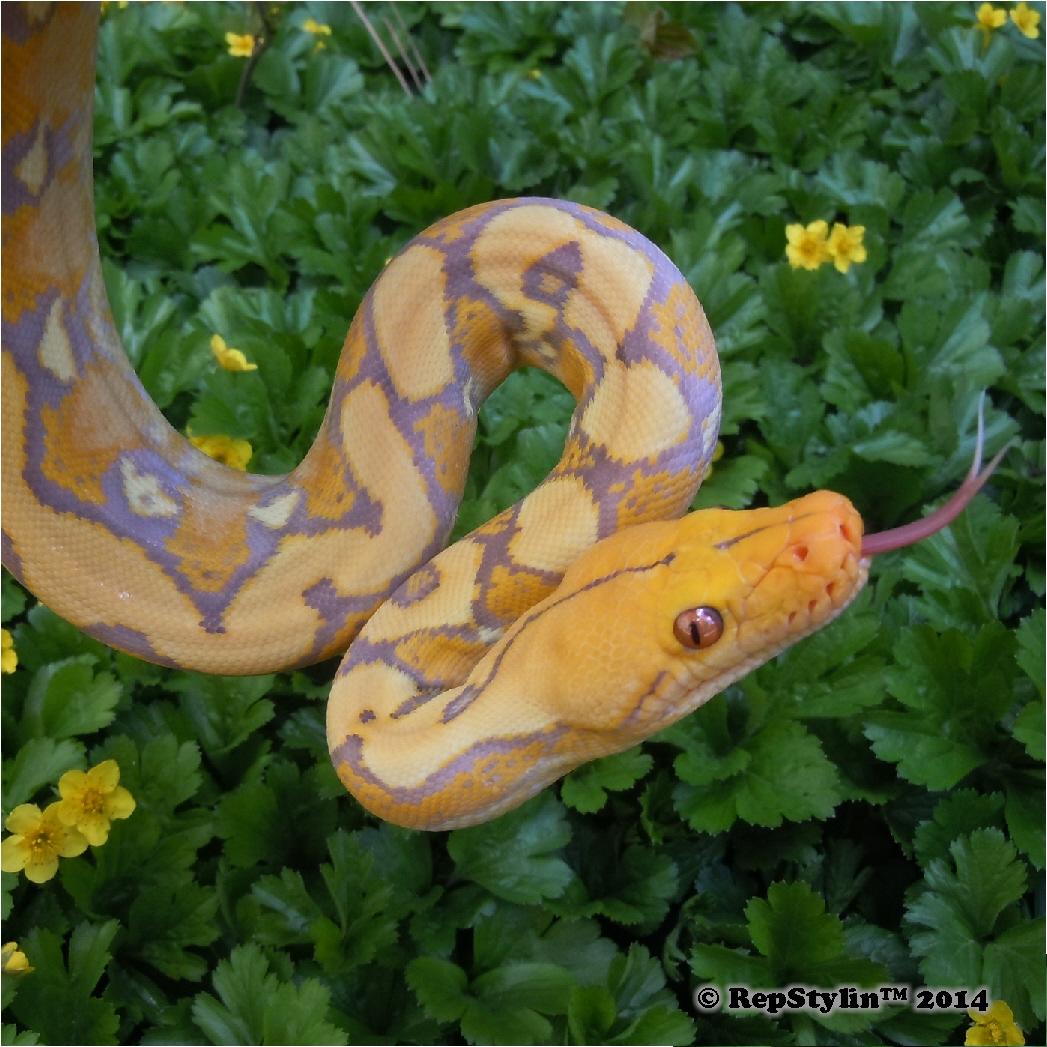 Pretty Yellow Flowers. Pretty Yellow Python.