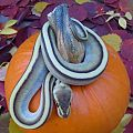 Pumpkin Python!