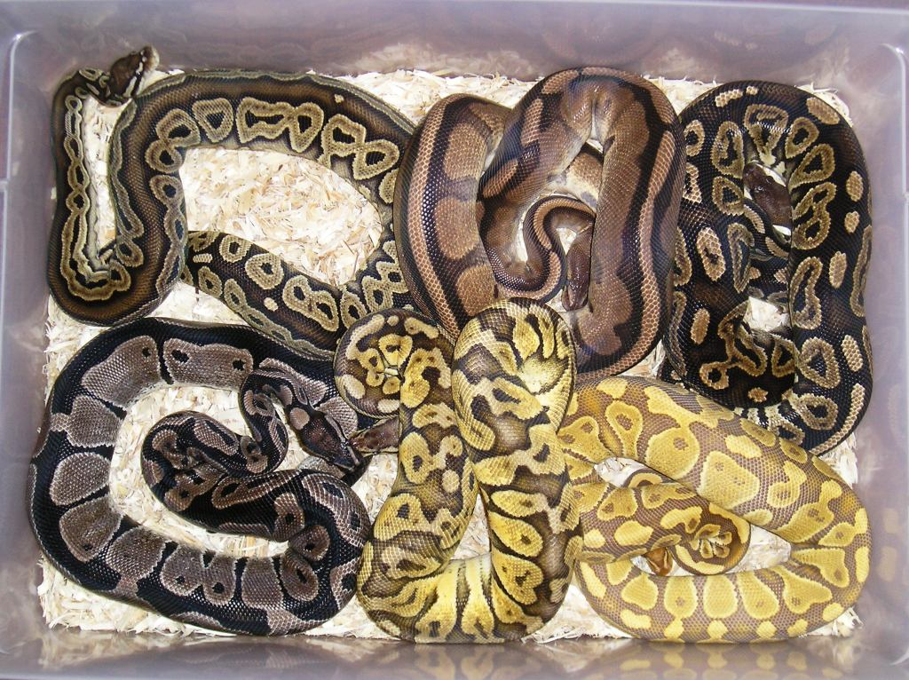 how to clean a ball python