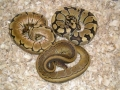 Another Group Of Female Ball Pythons