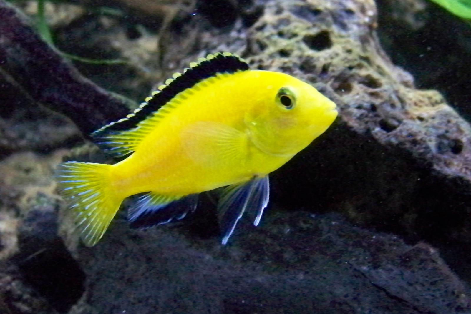 Some Of My African Cichlids Ball Gallery