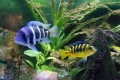 Some Of My African Cichlids