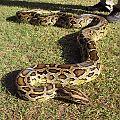 Pandora 0.1 Het Granite PH Albino burmese python