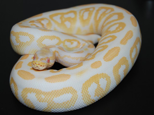 Ms. Albino Black Pastel