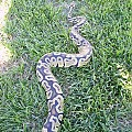 Aug 24th 2010 snake pickups