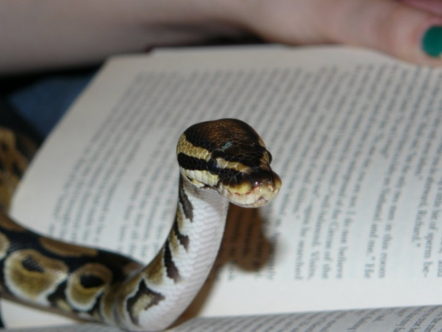 may ball python of the month contest