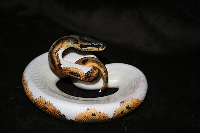 Pied male