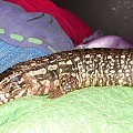 New Red Tegu