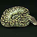 2014 clutch 1 male pastave cropped 2014-06-28