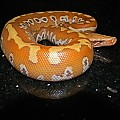 Male Albino Red Blood Python