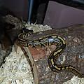 My newest snake Kira