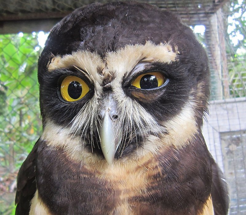 Costa Rican Owl