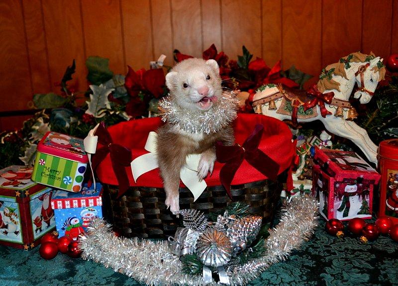 Merry Ferret Xmas