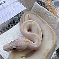 Pastel Ivory