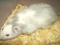 male_rat