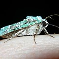 green battleship moth