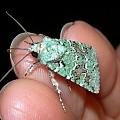 green battleship moth