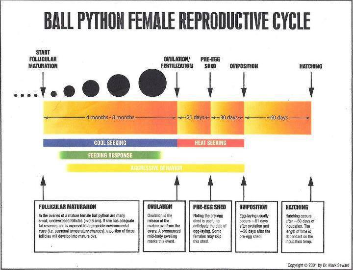 Female Ball Python Breeding Cycle