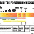 Female Ball Python Breeding Cycle