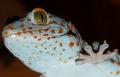 Flea again - my tokay (gekko gekko)