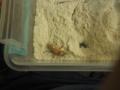 Superworm Beetles