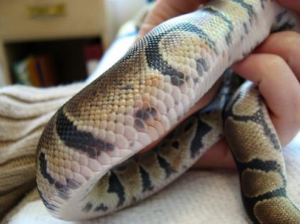 ball python mouth