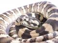 Guenievre Female Ij