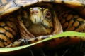 Cool Box Turtle