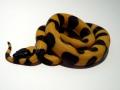 08 Ringed Python (bothrochilus Boa)
