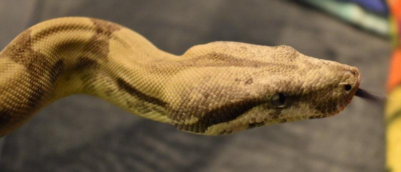 behira close up of face w tongue - no macro