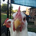 Chicken Close up