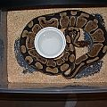 New Girl - Normal x Enchi Yellowbelly