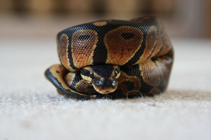 Cute Royal Python Pics