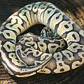 Ball python group