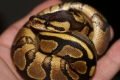 New 09 Female Yellowbelly (alexis)