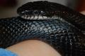 Black Rat Snake 4-9-08