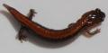 Salamander 040908