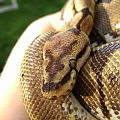 Yzma, the Spider Ball Python