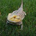 Ripley, the Bearded Dragon