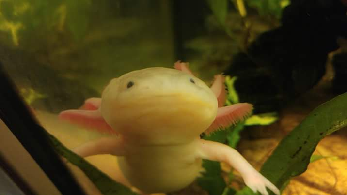 Stelly, the Leucistic Axolotl