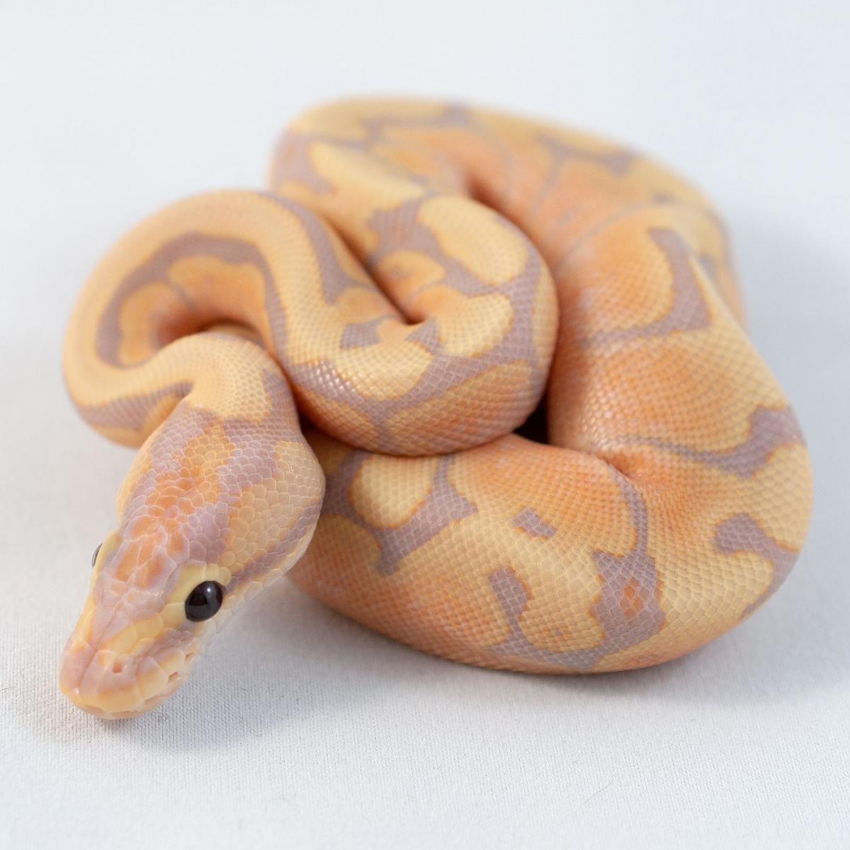 Coral Glow Fire Woma