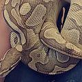 Banana Butter Ball Python