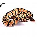 Pastel female