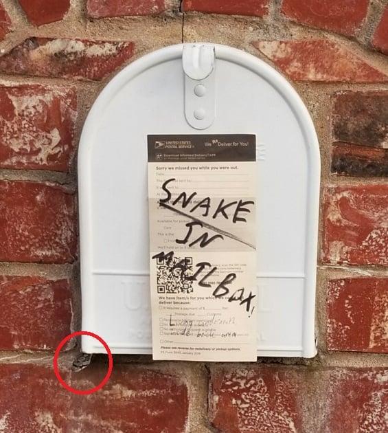 Ratsnake in mailbox