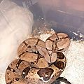 My redtail Boa